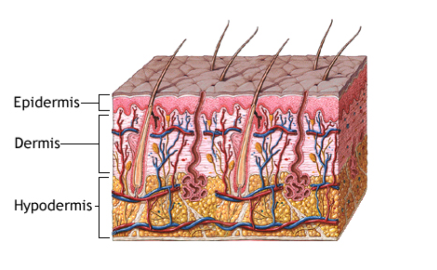 The Layers Of The Human Skin Best Anti Aging Blog