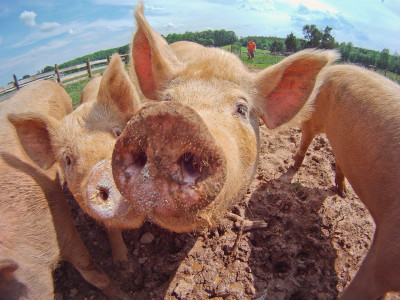 Pork meat is bad for your skin